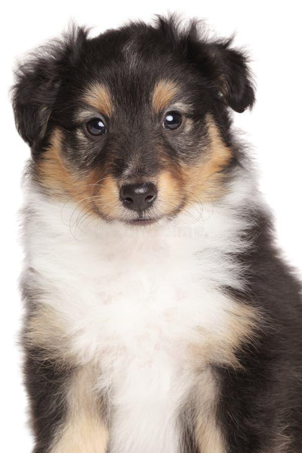 Retrato do cachorrinho de Sheltie no fundo branco imagem de stock
