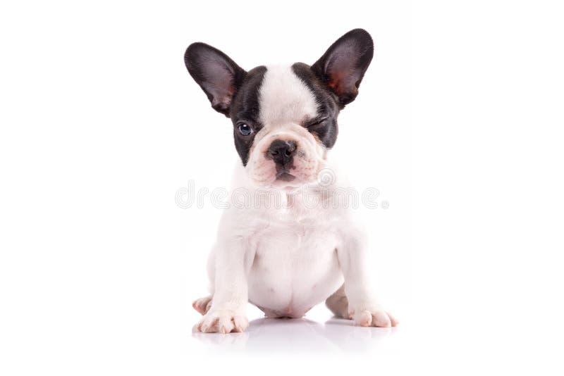 Retrato do cachorrinho do buldogue francês imagem de stock