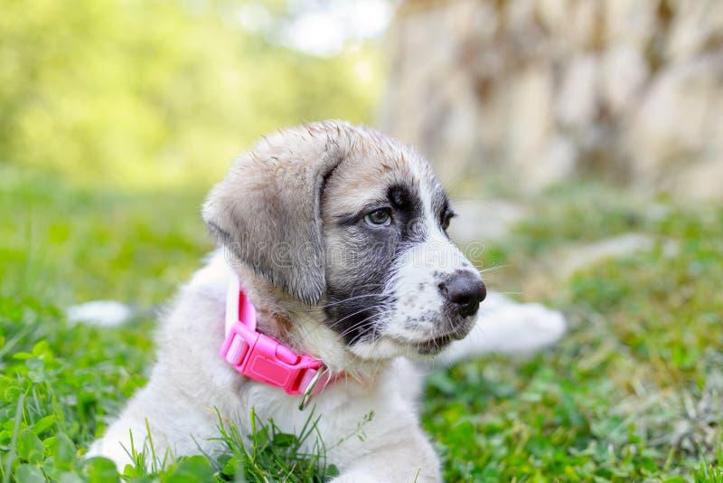 Retrato do cachorrinho do mastim na grama verde no por do sol imagens de stock royalty free