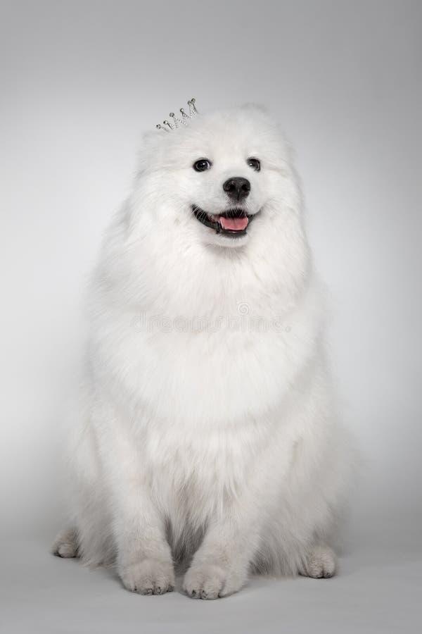 Retrato do cachorrinho engraçado do cão do Samoyed no estúdio no fundo branco O cachorrinho o mais bonito que olha de sorriso imagem de stock