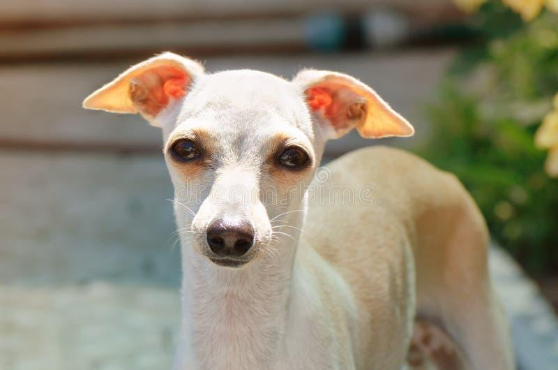 Retrato do cachorrinho do galgo italiano foto de stock