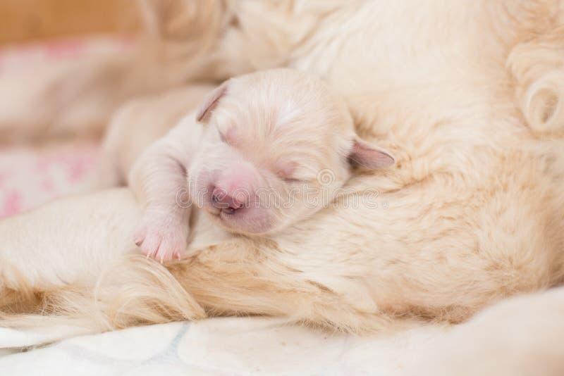 Retrato do cachorrinho recém-nascido branco do sono bonito do golden retriever imagem de stock royalty free