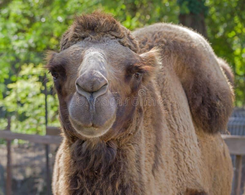 Retrato do camelo foto de stock