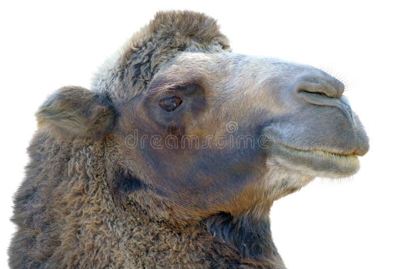 Retrato do camelo fotografia de stock royalty free