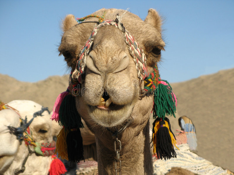 Retrato do camelo imagens de stock
