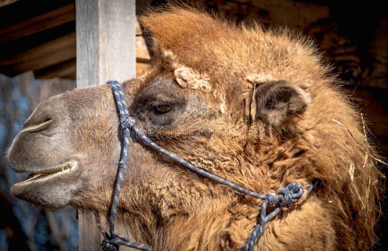 Retrato do camelo marrom, seca no deserto, exterior no jardim zoológico imagem de stock