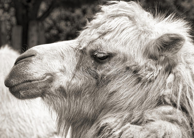 Download Retrato Do Camelo (sepia Do Vintage Disparado) Imagem de Stock - Imagem de cabeça, outdoor: 26520117