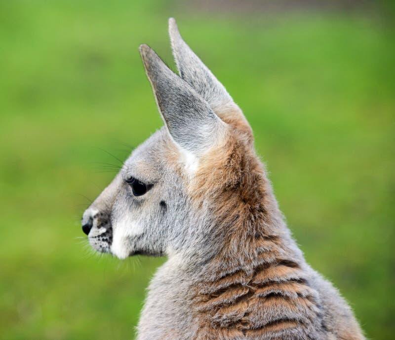 Retrato do canguru fotografia de stock royalty free