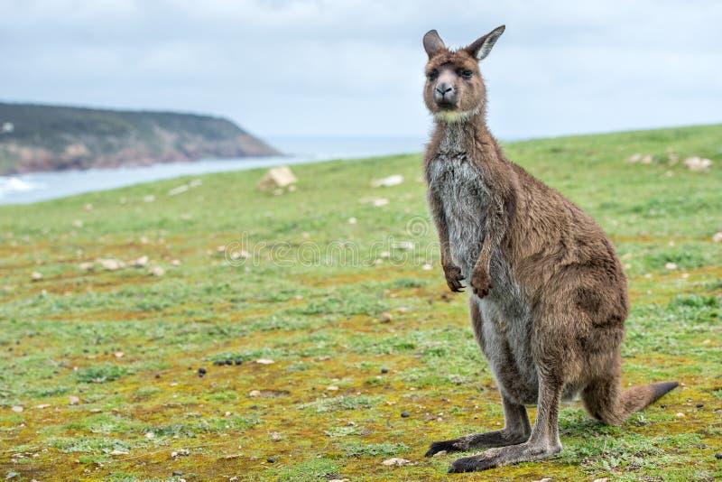 Retrato do canguru ao olhá-lo imagens de stock