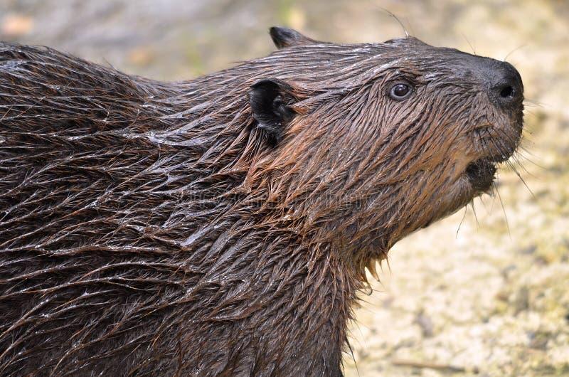 Retrato do castor norte-americano fotografia de stock royalty free
