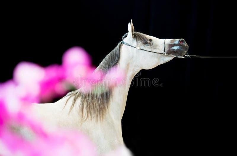 Retrato do cavalo árabe cinzento da mostra indoor imagens de stock