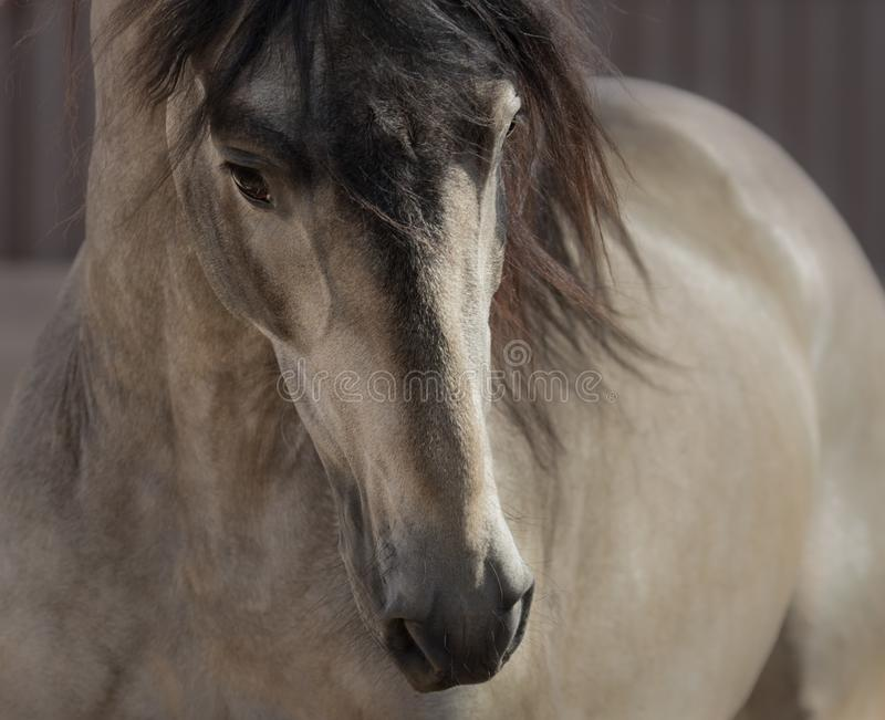 Retrato do cavalo do Andalusian da pele de gamo fotos de stock