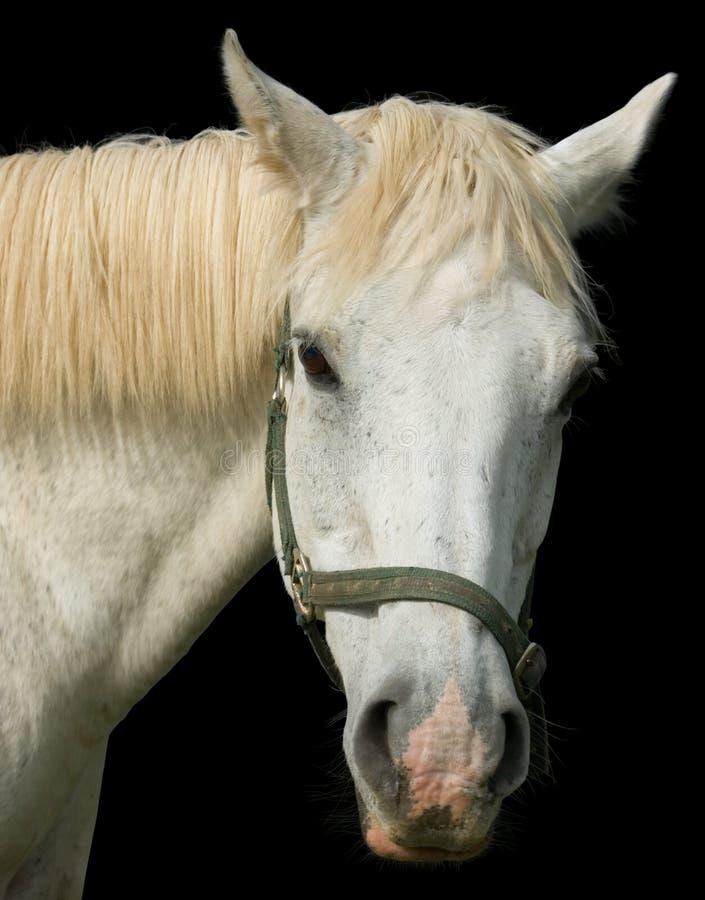 Retrato do cavalo branco fotografia de stock