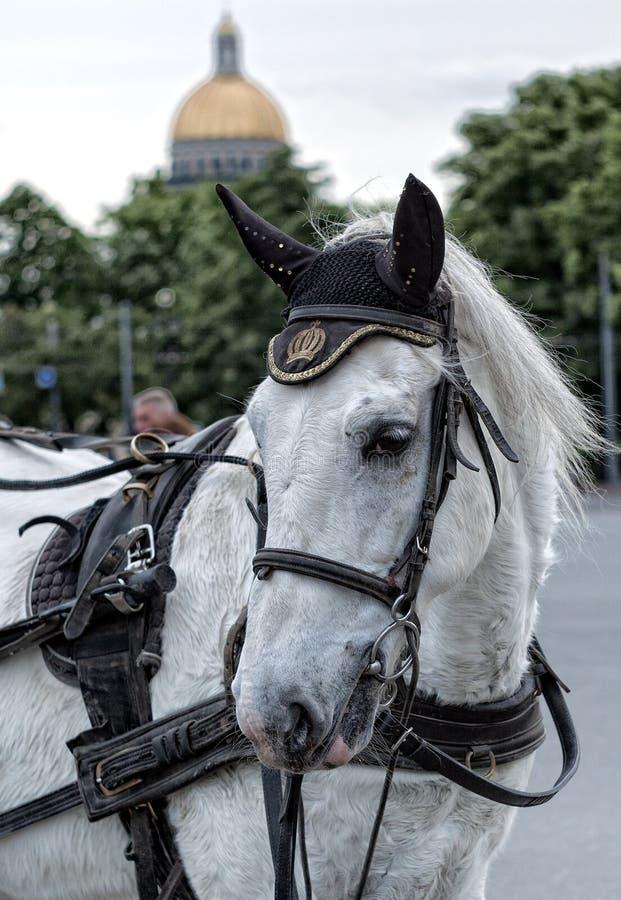 Retrato do cavalo branco aproveitado a um carro com chicote de fios imagem de stock royalty free