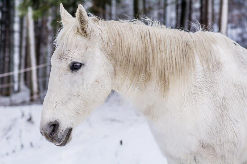 Retrato do cavalo branco bonito na montanha do inverno foto de stock