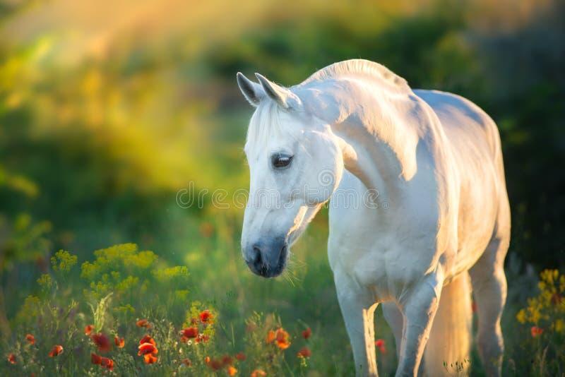 Retrato do cavalo branco no por do sol foto de stock royalty free