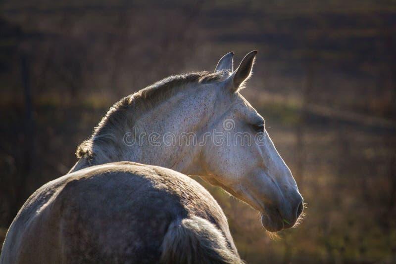 Retrato do cavalo cinzento imagem de stock