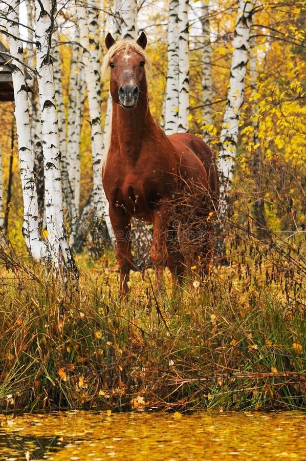 Retrato do cavalo da castanha no outono imagem de stock