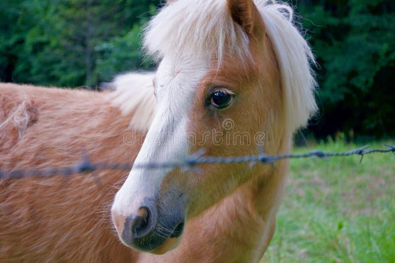Retrato do cavalo da miniatura de Brown fotos de stock royalty free