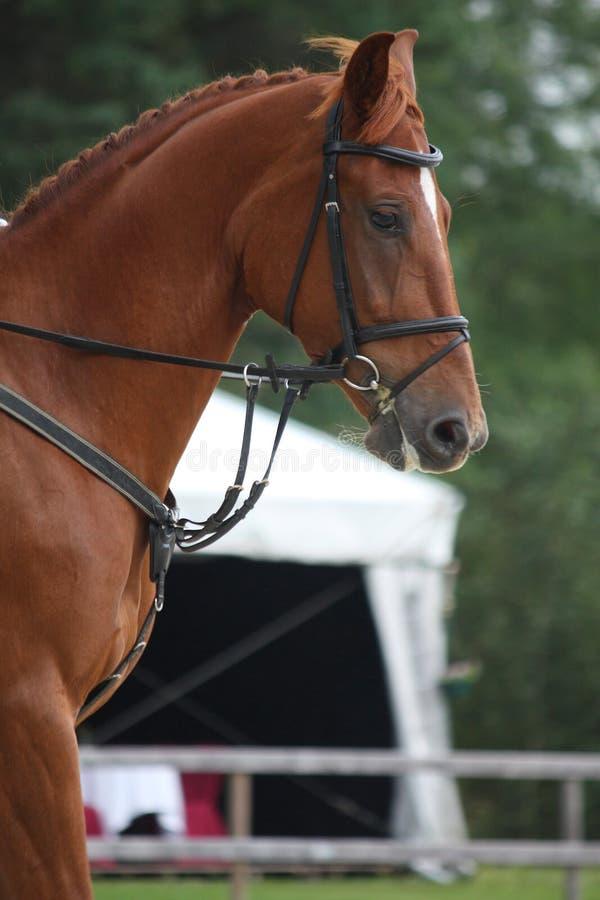 Retrato do cavalo de Brown com freio foto de stock
