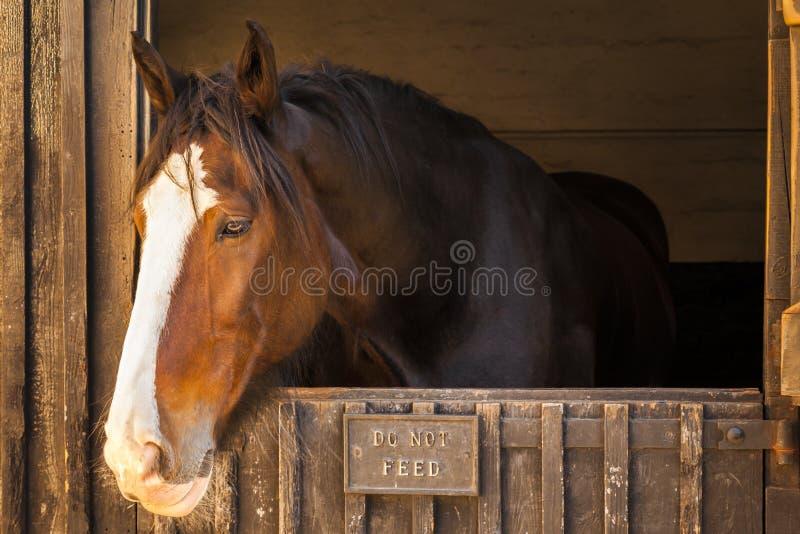Retrato do cavalo de condado no estábulo imagem de stock