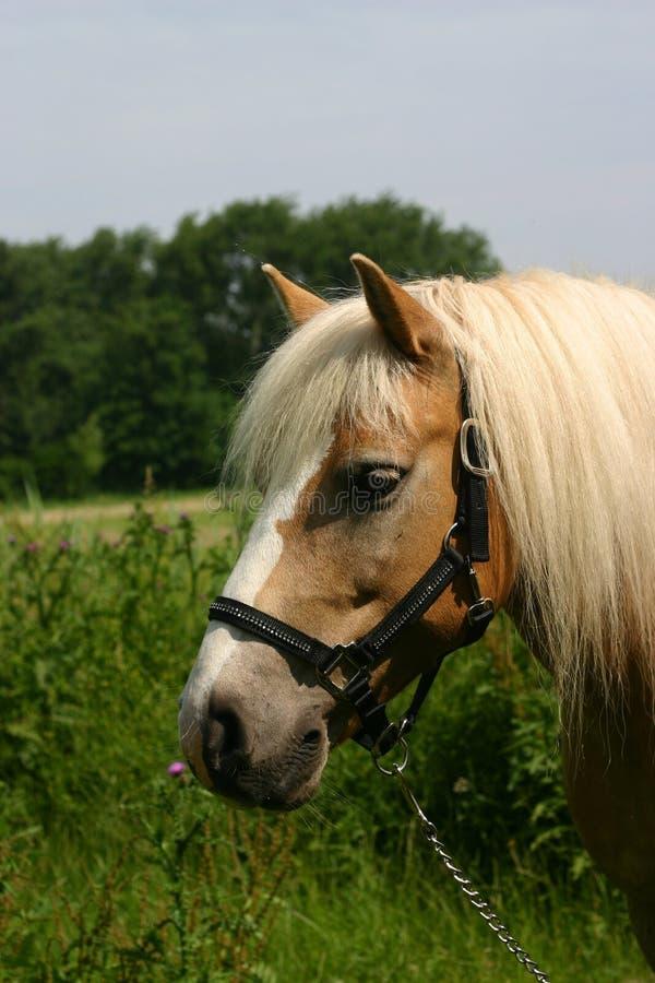 Retrato do cavalo de Haflinger imagens de stock