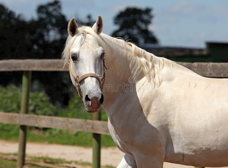 Retrato do cavalo de Lipizzan na exploração agrícola de parafuso prisioneiro imagem de stock royalty free