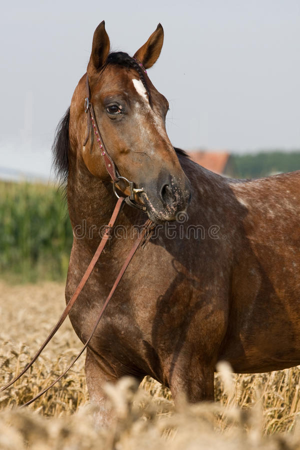 Retrato do cavalo do Appaloosa fotografia de stock royalty free