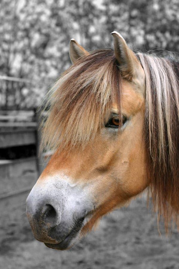 Retrato do cavalo do Fjord imagens de stock
