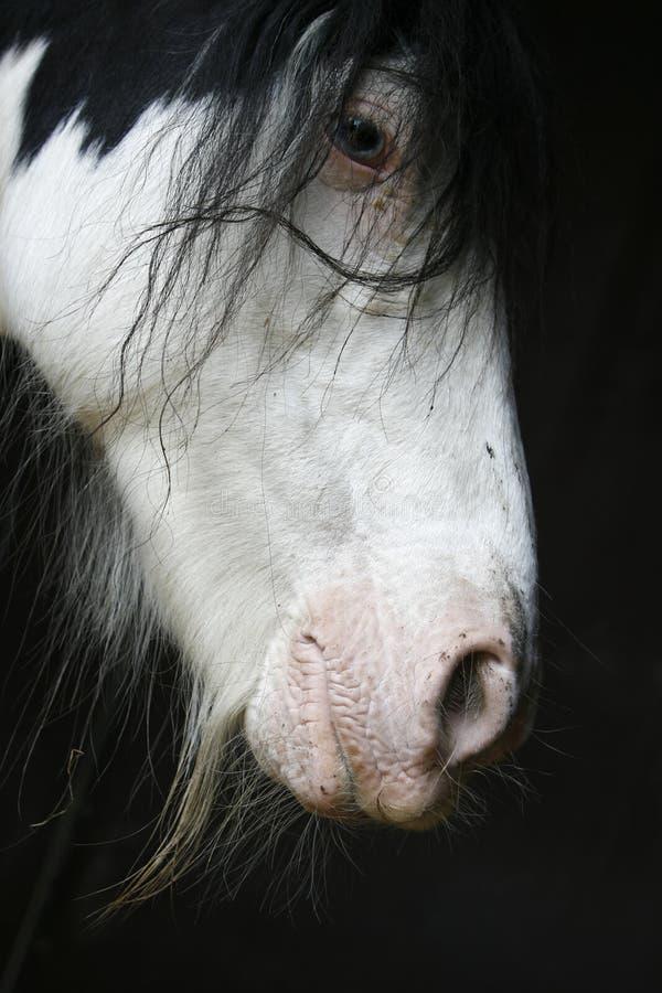 Retrato do cavalo do funileiro fotografia de stock royalty free