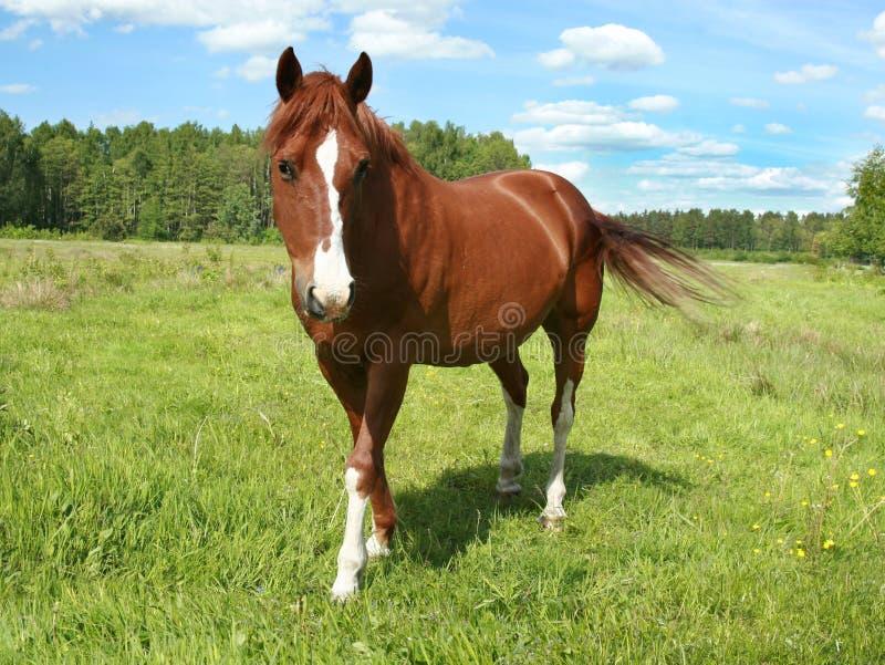 Retrato do cavalo em um pasto imagens de stock