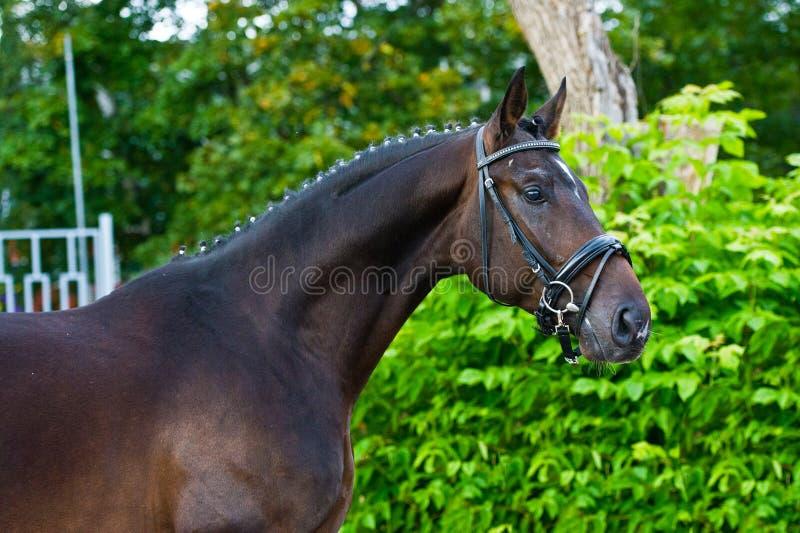 Garanhão - cavalo do criador no fundo verde imagens de stock