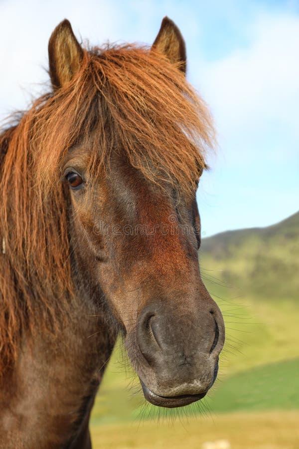 Retrato do cavalo islandês do puro-sangue no campo imagem de stock