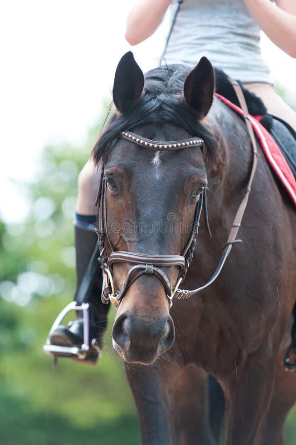 Retrato do cavalo do marrom do puro-sangue no freio no treinamento imagens de stock royalty free