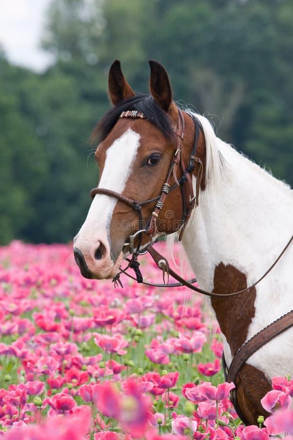 Retrato do cavalo no campo da papoila fotos de stock royalty free