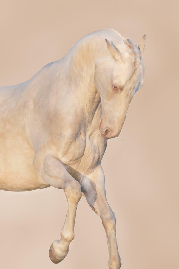 Retrato do cavalo no movimento fotos de stock