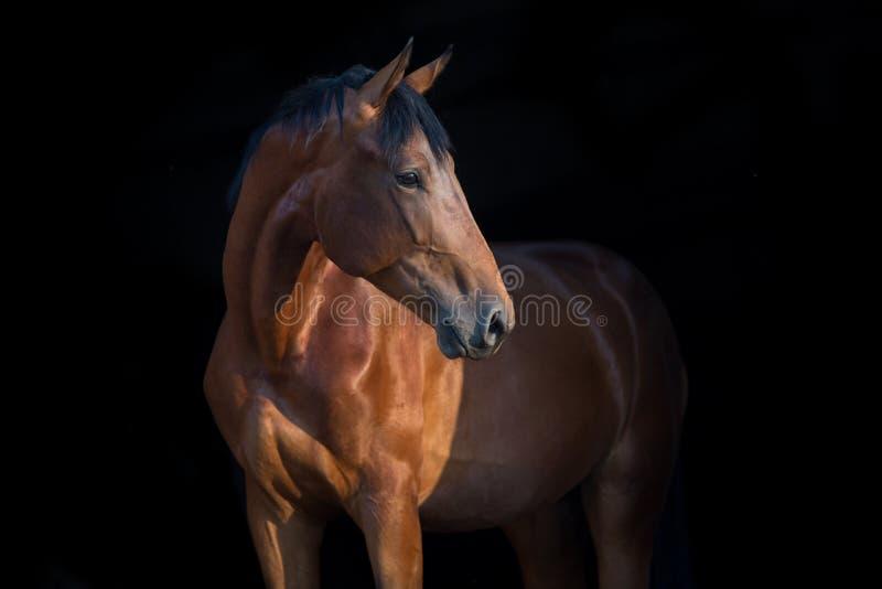 Retrato do cavalo no preto imagem de stock royalty free