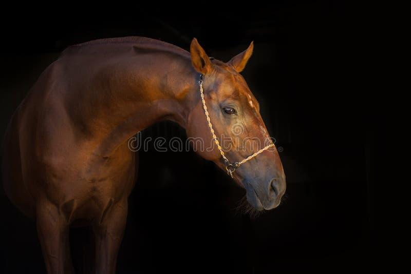 Retrato do cavalo no preto imagens de stock royalty free