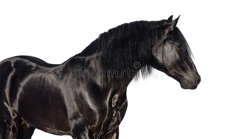Retrato do cavalo preto de Pura Spanish fotografia de stock