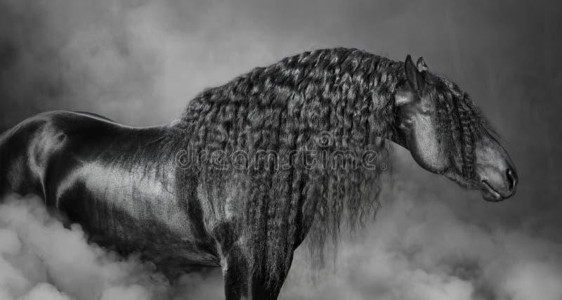 Retrato do cavalo preto do Frisian com juba longa no fumo imagem de stock