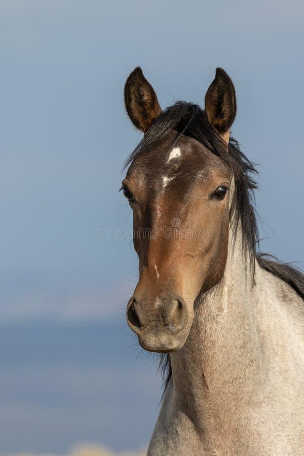 Retrato do cavalo selvagem no deserto alto de Colorado fotografia de stock royalty free