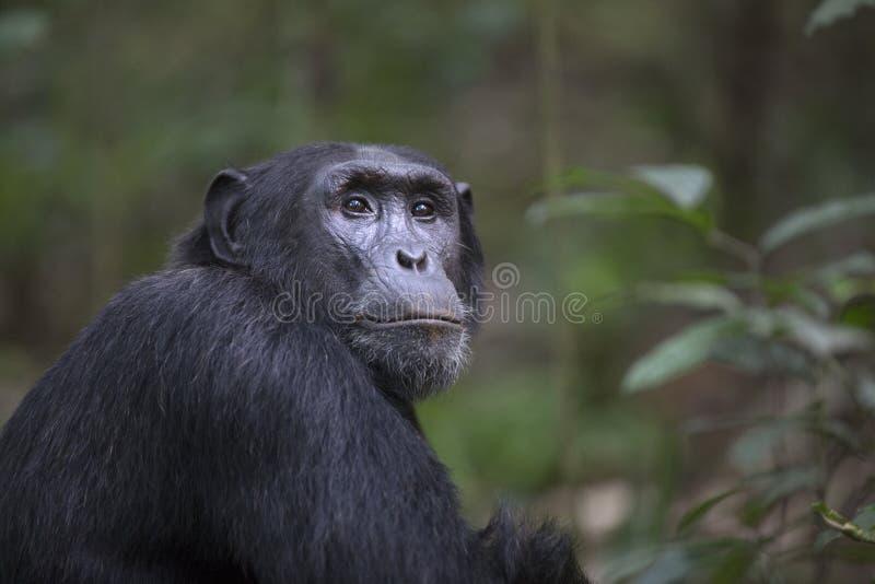Retrato do chimpanzé livre selvagem fotos de stock