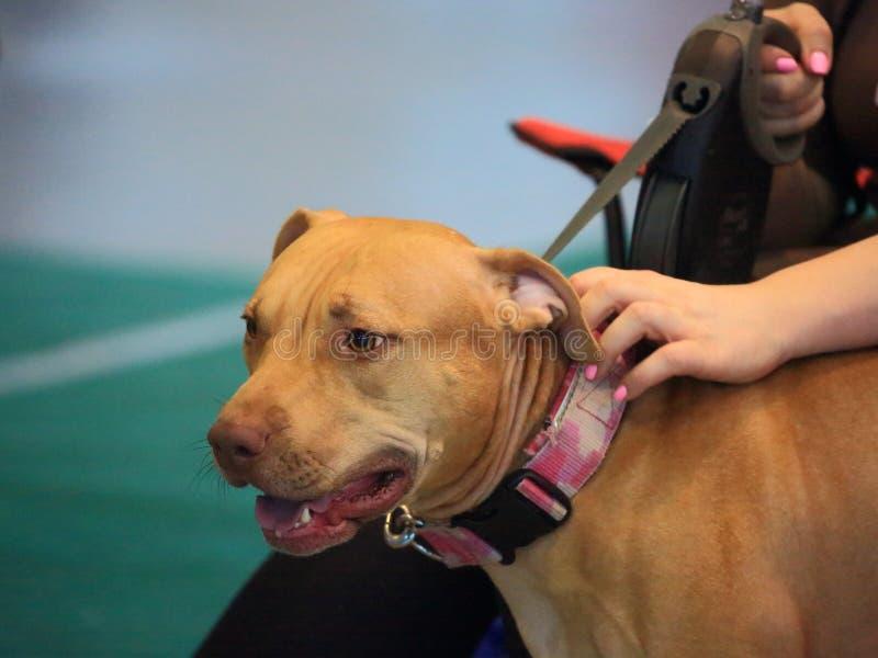 Retrato do close up americano de Terrier de pitbull fotografia de stock royalty free
