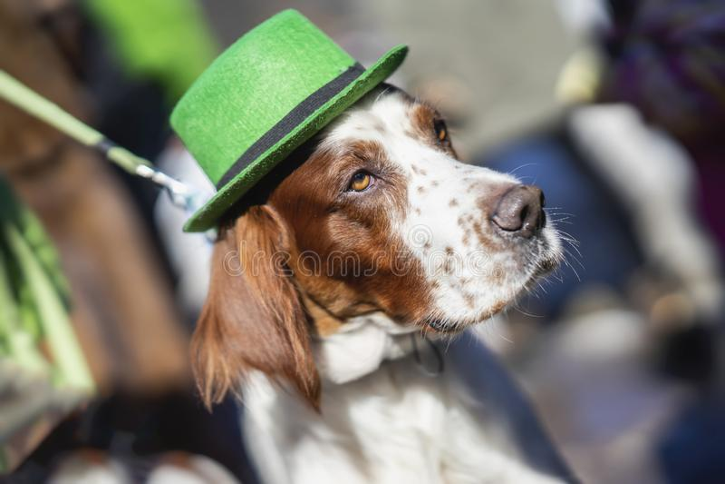 Retrato do close-up bonito, bonito no chapéu irlandês verde, feriado do cão do dia de St Patrick Dia de StPatrick s imagem de stock royalty free