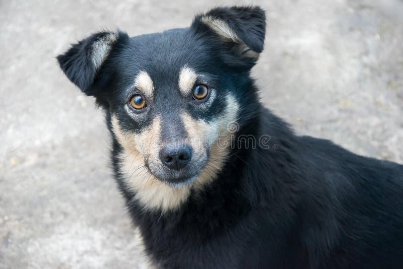Retrato do close up do cão bonito do híbrido que olha in camera Cachorrinho preto adorável fotos de stock royalty free