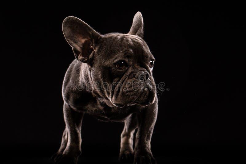 Retrato do close-up do cão engraçado e curiosamente da vista do buldogue francês, vista dianteira, isolada no fundo preto foto de stock