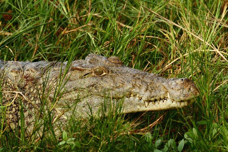 Retrato do close up do crocodilo imagem de stock royalty free