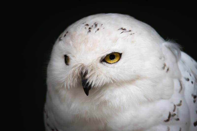 Retrato do close up da coruja do branco nevado fotografia de stock