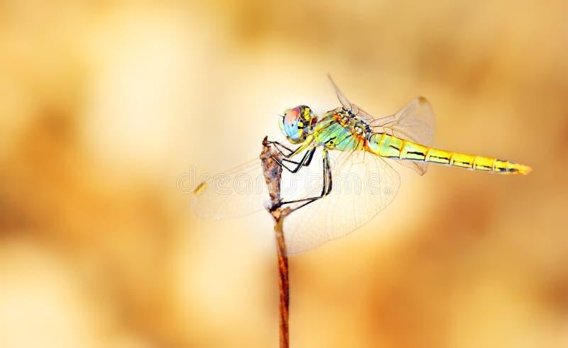 Retrato do close up da libélula imagem de stock