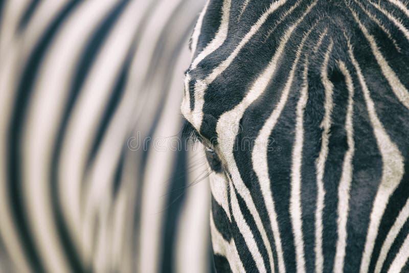 Retrato do close up da zebra imagem de stock